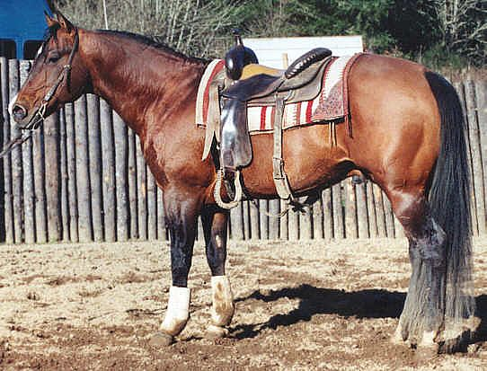 Docs Twice Royal, sire. Pictured here at 19. By Doc O Lena, out of a mare by KING P234.