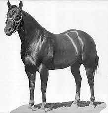 Poco Bueno, grand-sire & the horse that makes up just over 40% of CE Poco Cara Blanca's blood.